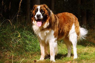 moscow-guard-dog-moskevák