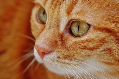 cat-red-mackerel-tiger-animal