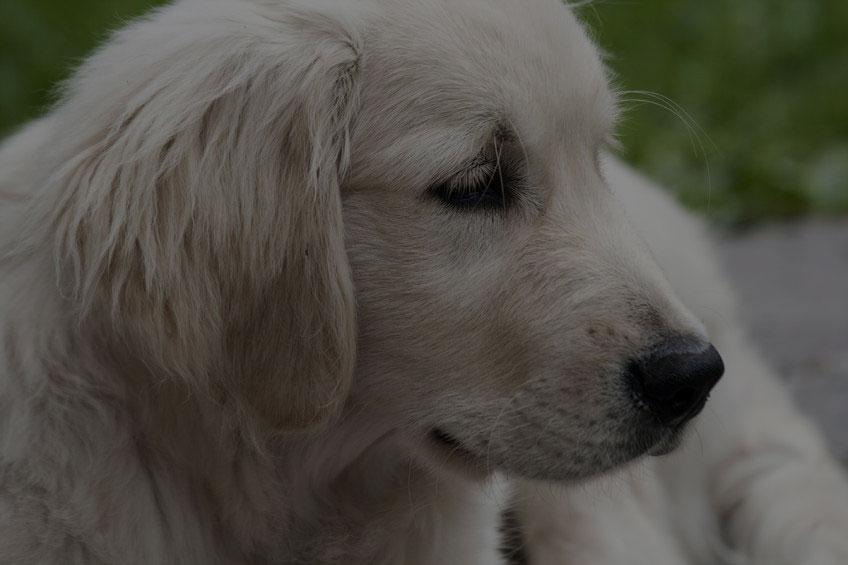 Labrador face closeup