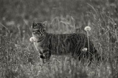 tabby cat standing in the field , black and white portrait