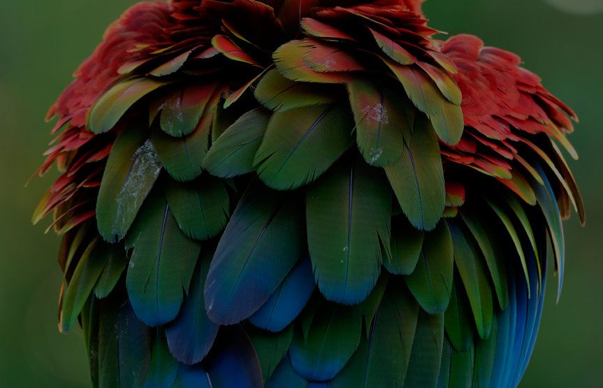 Dirty and Puffy feathers of Green-winged Macaw parrot bird