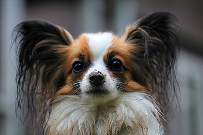 head of smart papillon dog as nice portrait