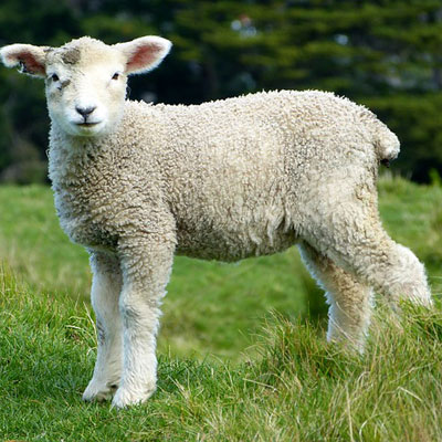 sheep-white-lambs-goats-animals