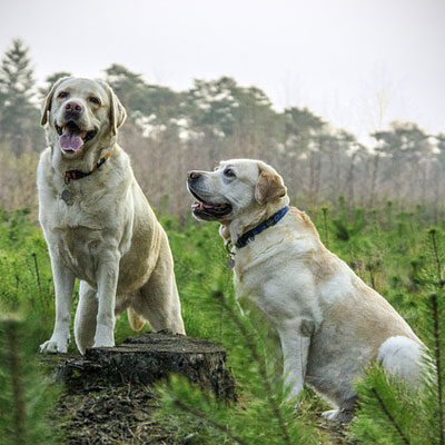 labrador-breed-dogs-animal-animals