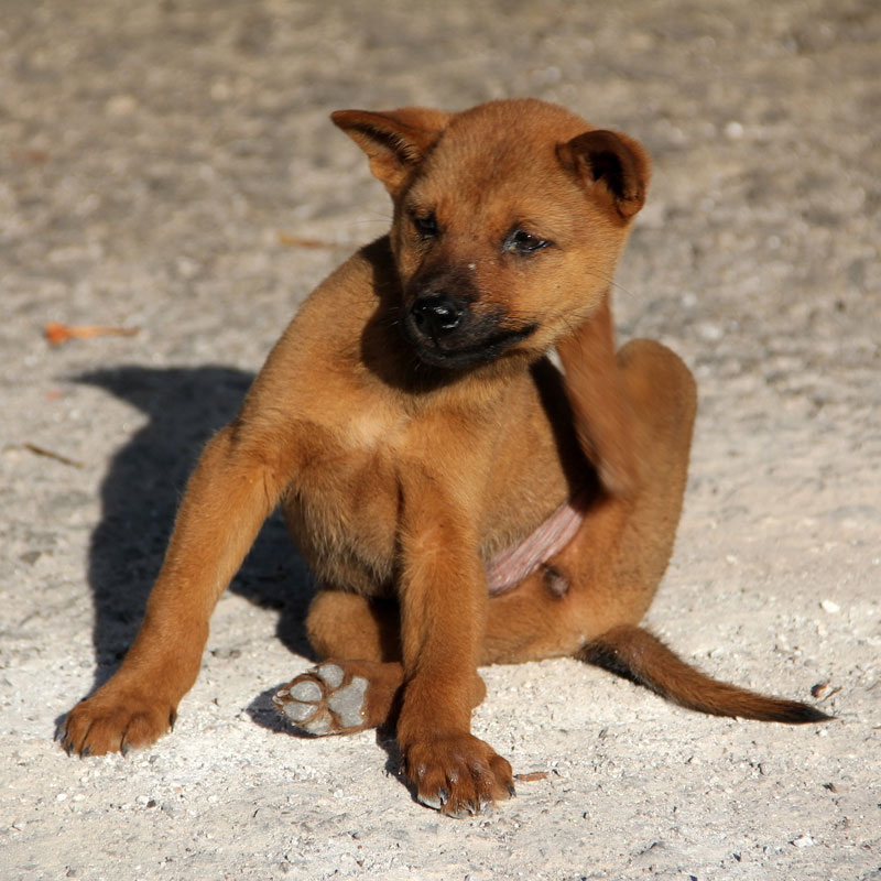 cute puppy scratching