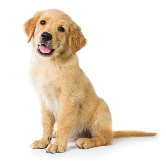 A portrait of a cute Golden Retriever dog sitting on the floor